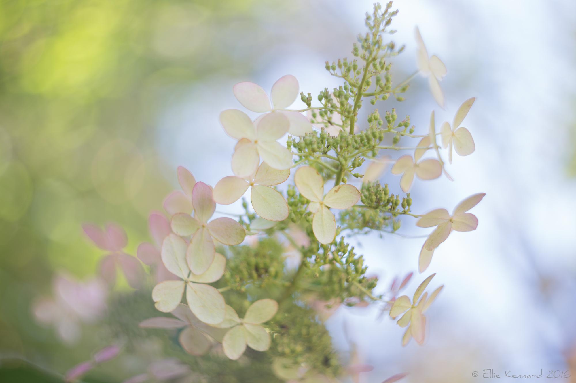 Autumn Hydrangea cream flowers - Ellie Kennard 2016
