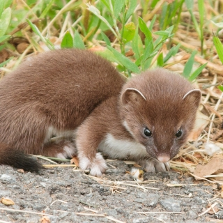 Short tailed weasel pup - who posed very nicely for my camera. Ellie Kennard 2011