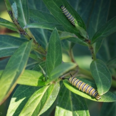 Monarch butterly larvae - Ellie Kennard 2016