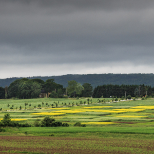Esperimental canola under gloomy skies -Ellie Kennard 2013