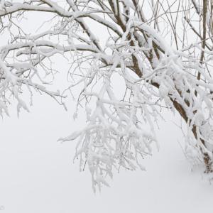 Snow tree January 2021
