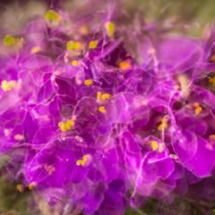 Purple Prince African Violet multiple exposure – Ellie Kennard 2016