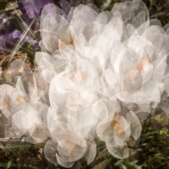 Spring explosion~ Multiple Exposure of White Crocuses– Ellie Kennard 2016