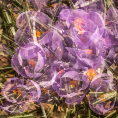 Transparent Purple ~ Multiple Exposure of Purple Crocuses– Ellie Kennard 2016