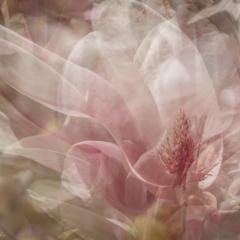 Impressions of magnolia flower – Ellie Kennard 2016