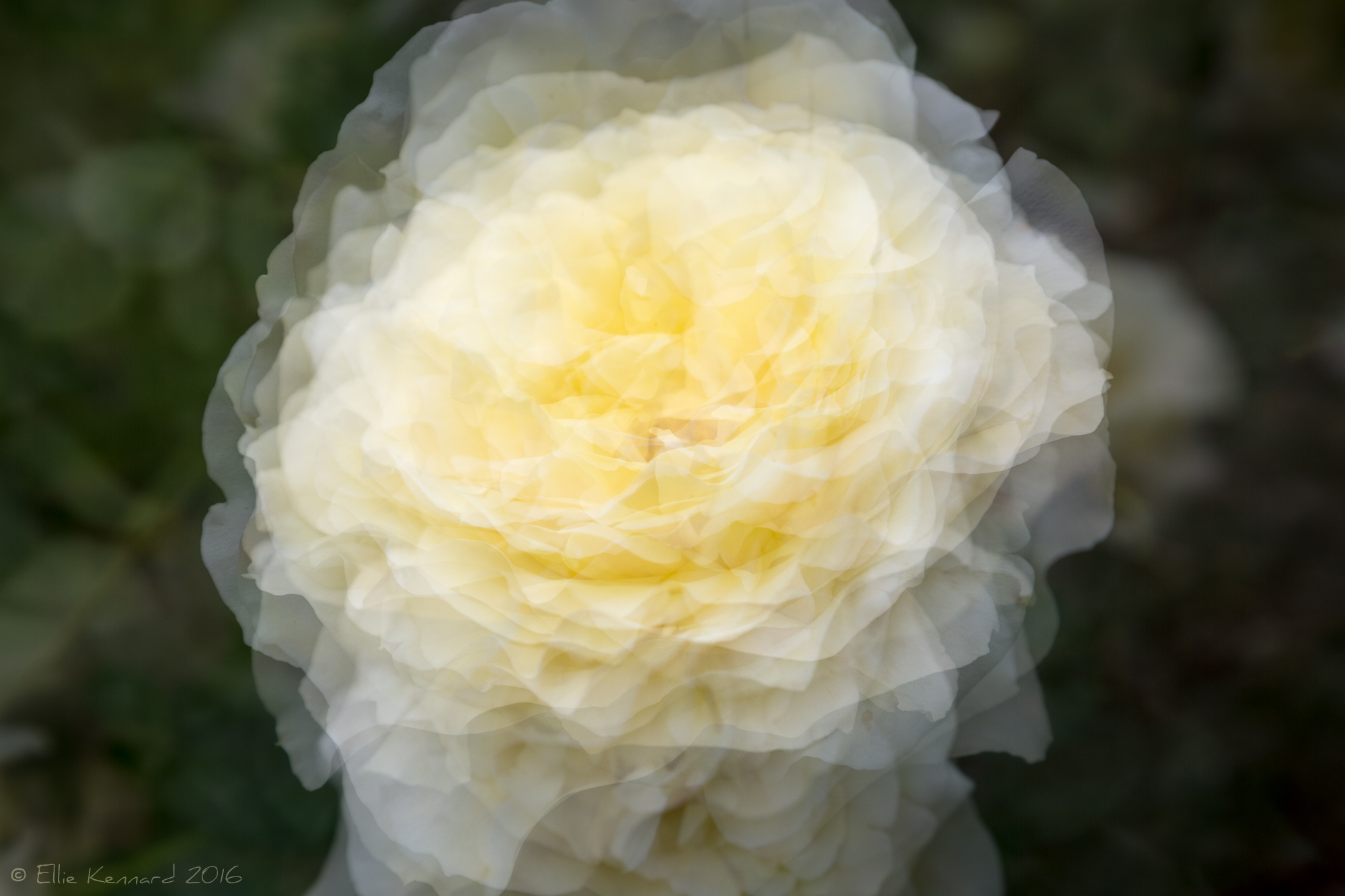 White Rose's Glowing Heart of Summer : Ellie Kennard 2016