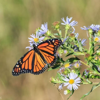 Female Monarch butterfly on wildflowers, first sightings. Note the lack of black spot on the lower wing, the heavier lines traced on the wings - Photo by Ellie Kennard 2016