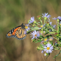 Female Monarch Butterfly on wildflowers #3, Canning, NS - Ellie Kennard 2016