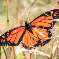 Male Monarch Butterfly, Bigelow Trail, Canning. Note the black spot on the lower (left side visible) wing. Also the finer lines traced on the wings - Ellie Kennard 2016