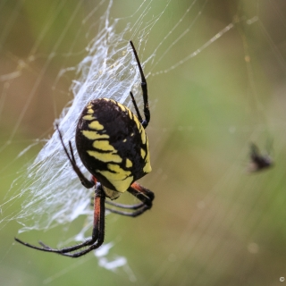 "This is a female Yellow Argiope spider seen while photographing Monarch butterflies. People use a variety of other names like Garden spider or ""Sewing Machine"" spider, because of the zigzag she weaves in her web. The male is incredibly small in comparison. Canning - Ellie Kennard 2016"