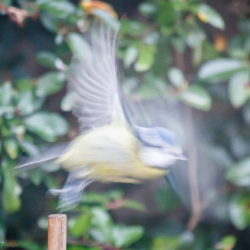 Bluetit in motion - Ellie Kennard 2016