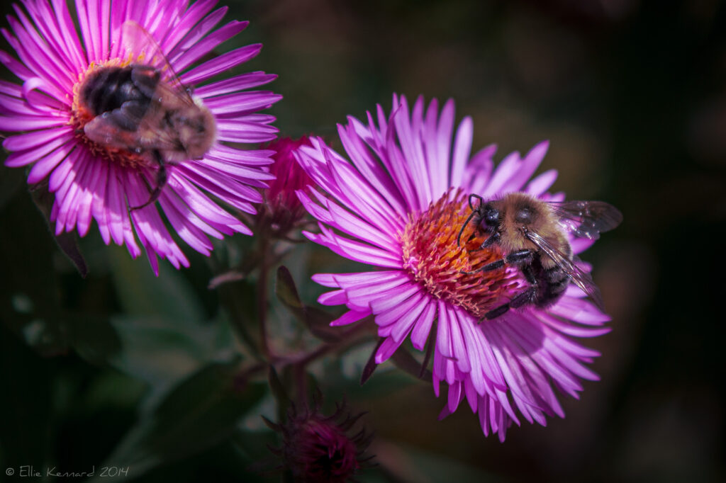 Bees on wild asters