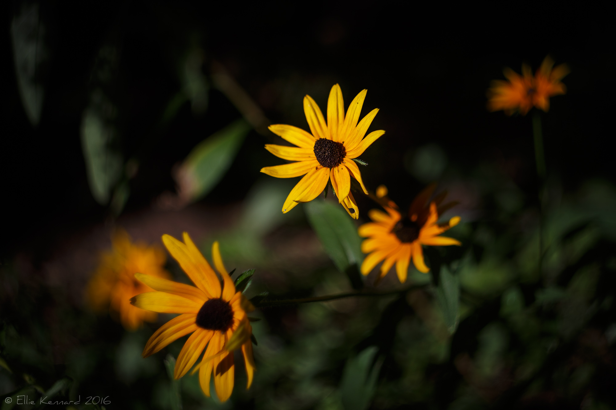 Black-Eyed Susans (Rudbeckia_hirta) lighting up the undergrowth - Ellie Kennard 2016