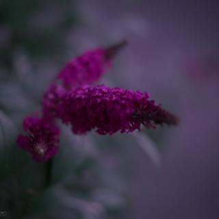Buddleia flower