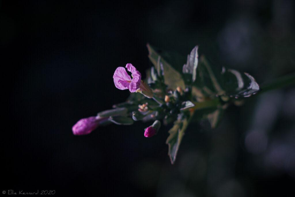 Pink radish flower