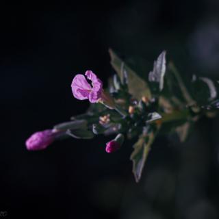 Pink radish bud