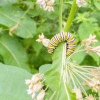 Monarch butterfly caterpillar on milkweed - Ellie Kennard 2018