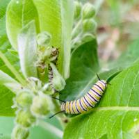Two monarch butterfly caterpillars on milkweed - Ellie Kennard 2018