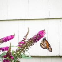 Monarch butterfly on buddleia bush - Ellie Kennard 2018