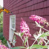 Monarch butterfly taking off from a buddleia bush- Ellie Kennard 2018
