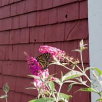 Monarch butterfly on buddleia- Ellie Kennard 2018