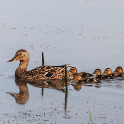 Ducks in a Row - Ellie Kennard 2012