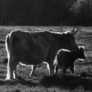 Highland Cattle - Ellie Kennard 2012