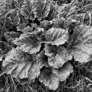 Rhubarb - Ellie Kennard 2013