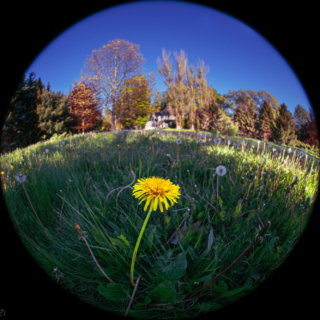 Dandelion in the round