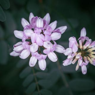 Coronilla varia, crown vetch
