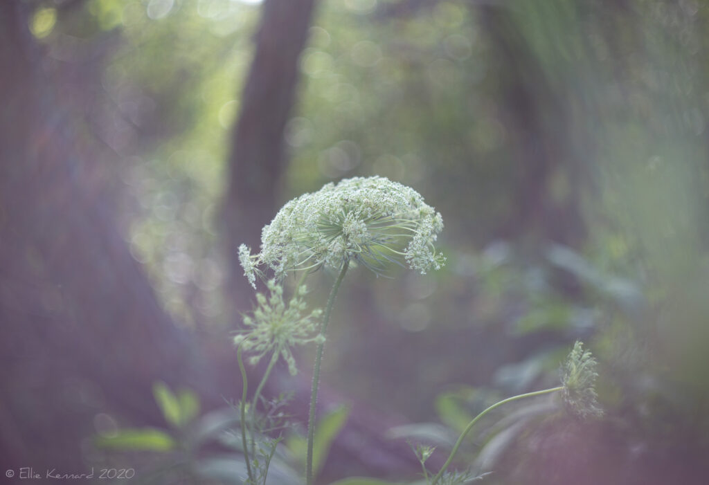 Queen Anne's Lace by the woods