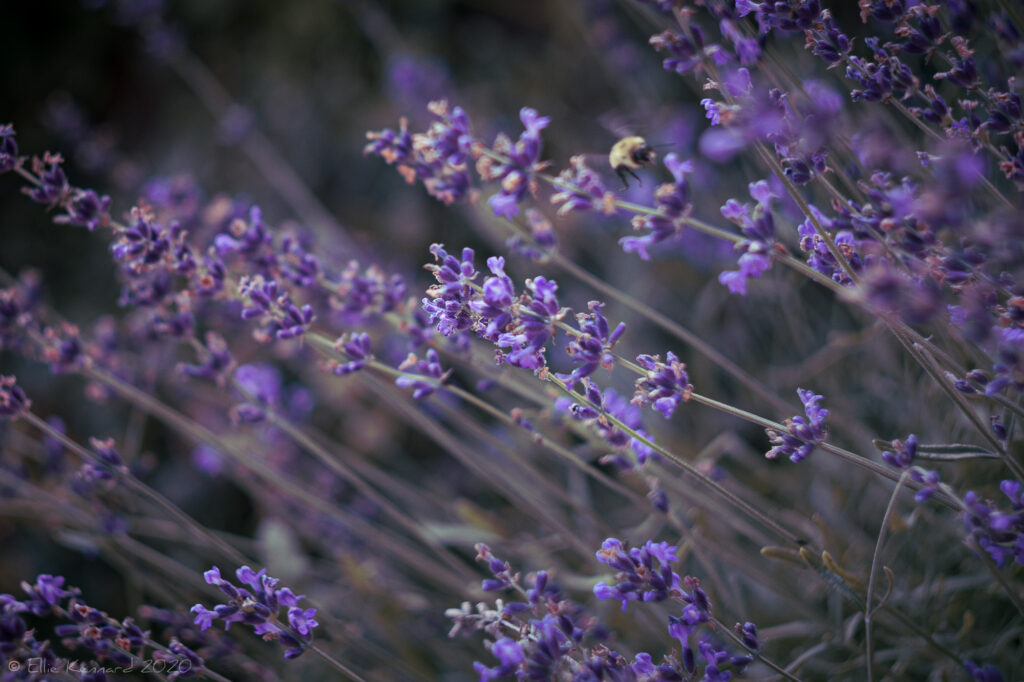 Lavender in Summer
