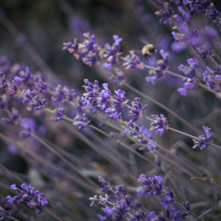 Lavender in summer