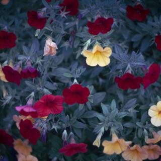 Petunia patch