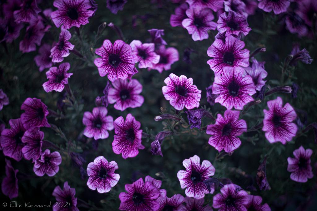 Purple veined petunias