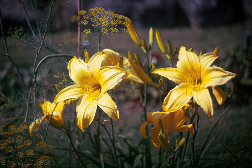 Daylilies and Dill