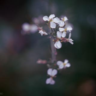 White Radish flower