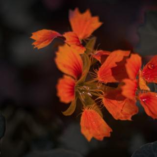 Phoenix Nasturtium