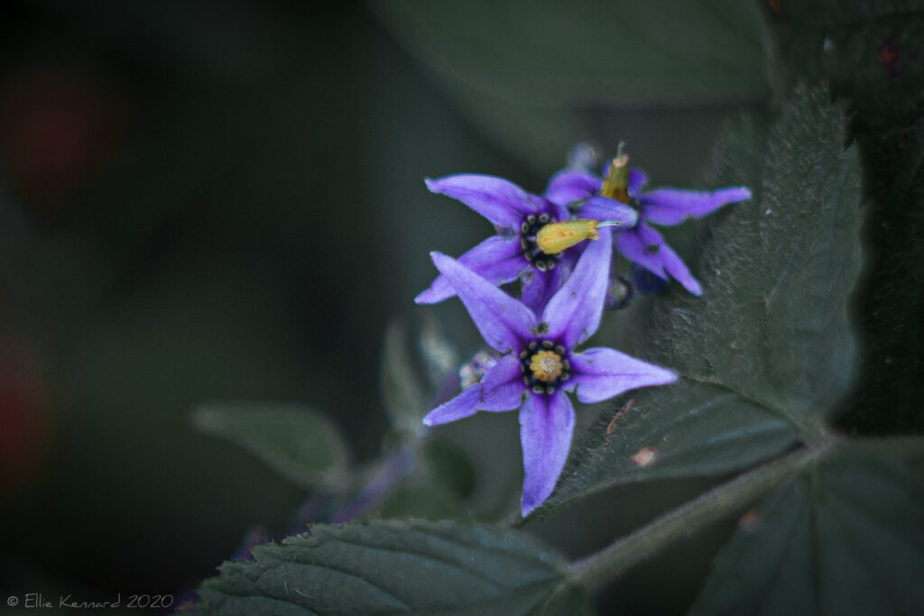 Deadly Nightshade flower