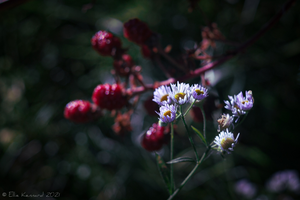 Asters and blackberries