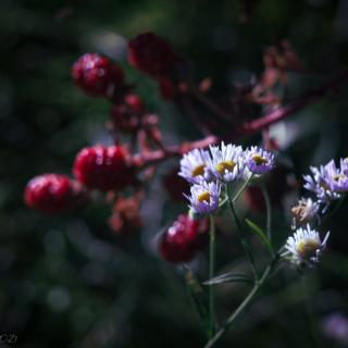 Asters and blackberries