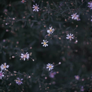 Starry night asters