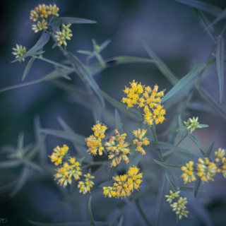 Grass leaved goldenrod