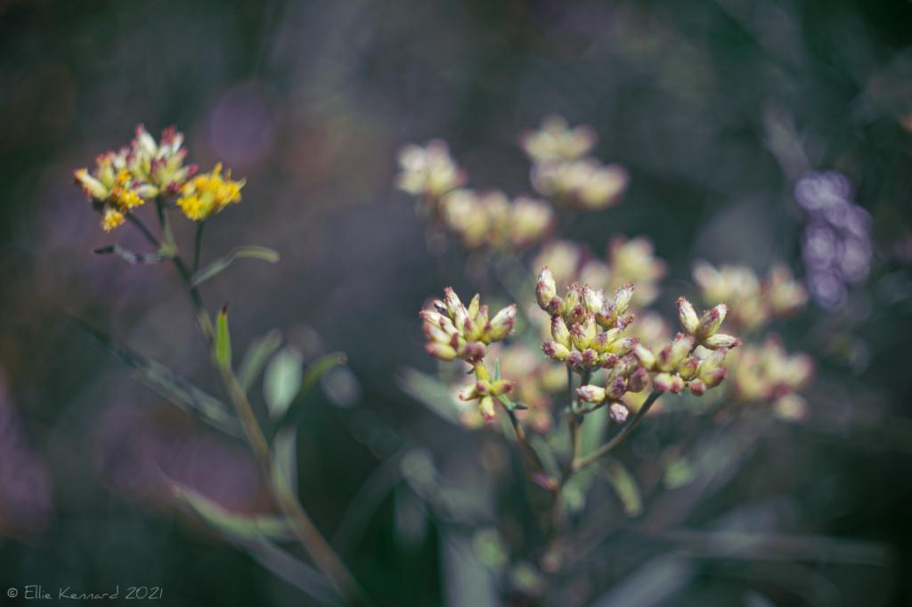 Grass Leaved Goldentop