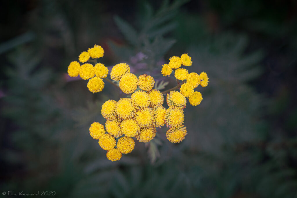 Tansy, Golden Buttons