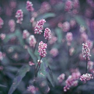 Pale knotweed