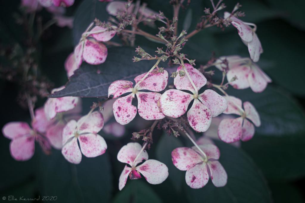 Hydrangea Paniculata Siebold