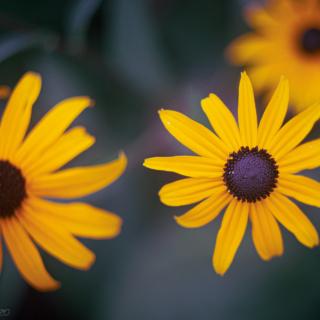 Rudbeckia - Coneflower