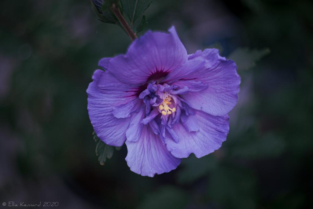 Rose of Sharon - Blue Chiffon