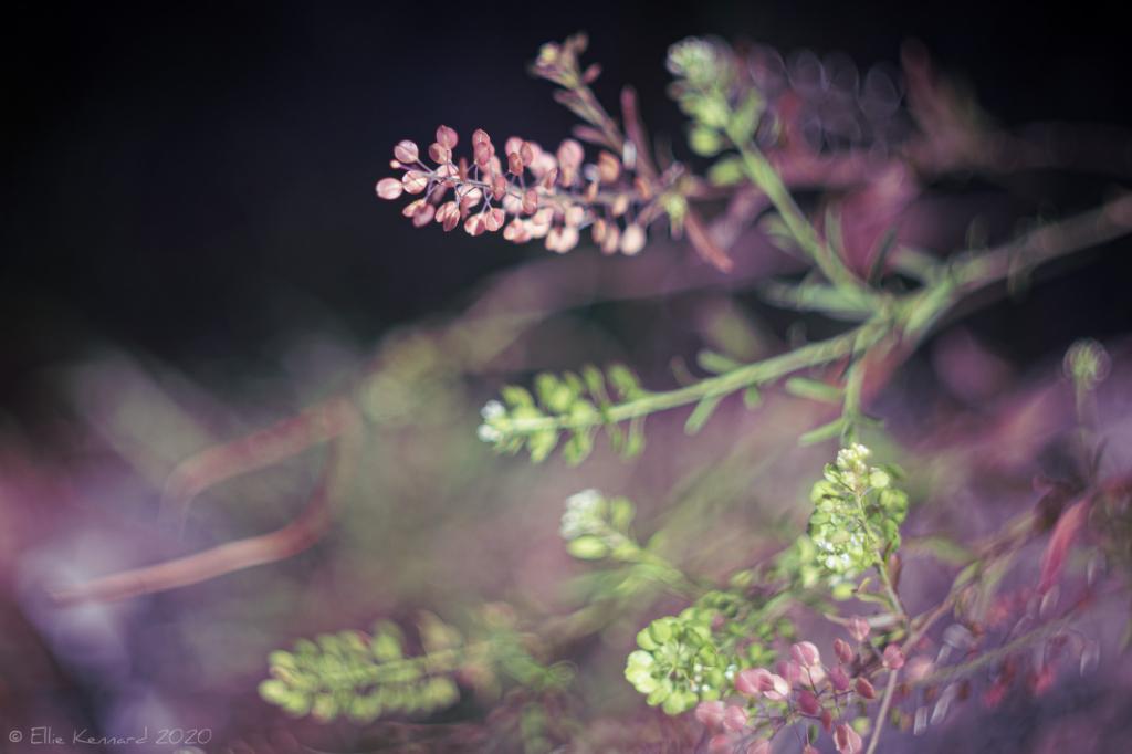 Virginia Pepperweed, Least Pepperwort
